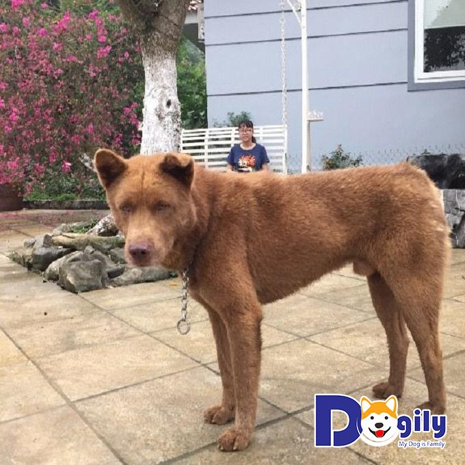 Chó Mông Cộc có gương mặt rất lanh lợi, sở hữu một khả năng ghi nhớ siêu phàm