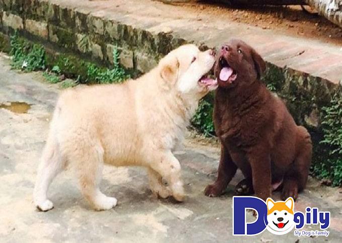 Chó Mông Cộc sống cả đời trung thành với duy nhất một chủ nhân