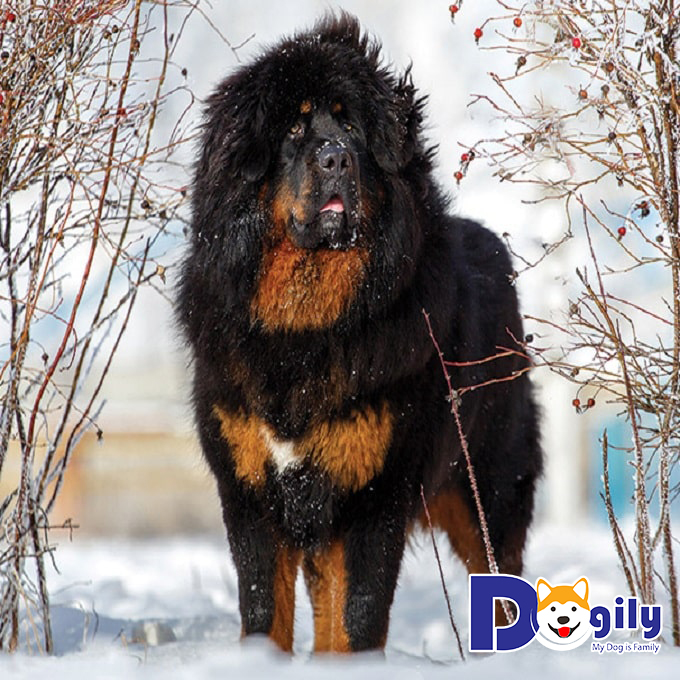 Chó Ngao Tây Tạng thường có khả năng bảo vệ tốt ngôi nhà của gia chủ hơn