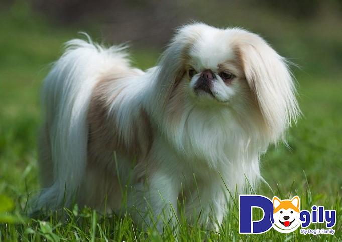 Chó Nhật dễ mắc phải bệnh viêm miệng do nấm