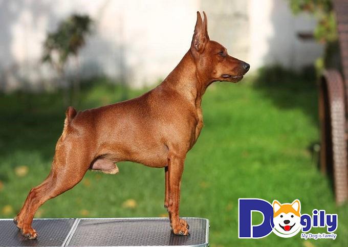 Chó Phốc hươu có mức giá cao hay thấp tùy vào độ thuần chủng, chất lượng giống