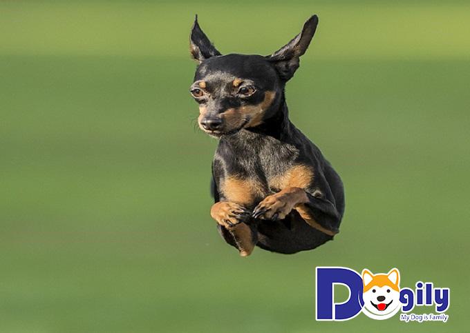 Chó Phốc hươu có thân hình nhỏ, kích thước khiêm tốn nhưng vẫn chiếm ưu thế
