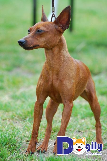 Chó Phốc hươu sở hữu màu càng hiếm sẽ có giá cao hơn so với chó màu đỏ sậm