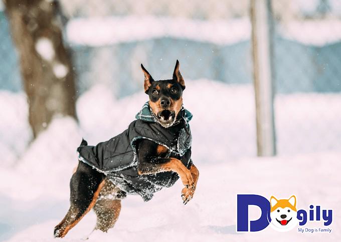 Chó Phốc hươu trưởng thường thành có giá cao hơn so với những chú chó con