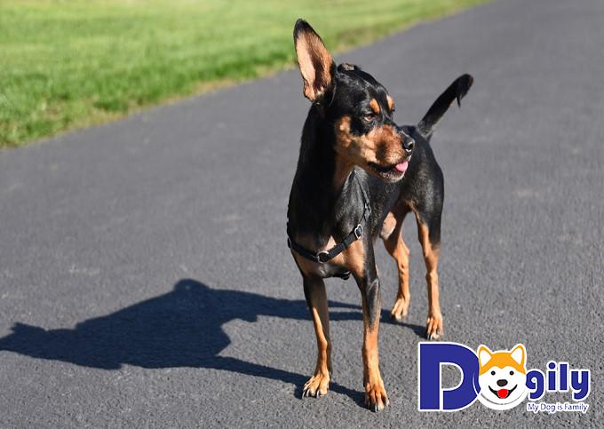 Chó Phốc hươu với vẻ ngoài đáng yêu, tính tình hiền lành và rất thông minh