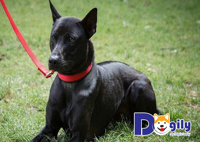 Chó Phú Quốc là giống chó có nguồn gốc xuất xứ tại Việt Nam