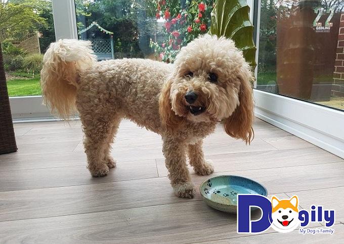Chó Poodle nên nuôi ở nơi sạch sẽ, yên tĩnh và thoáng mát