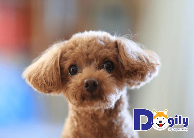 Chó Poodle nhập khẩu trực tiếp từ Châu Âu có giá thành vô cùng đắt đỏ