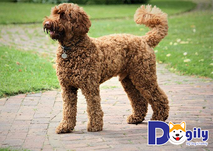 Chó Poodle sinh sản tại Việt Nam có giá bình dân, chất lượng vẫn đảm bảo