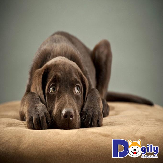 Chó dễ mắc bệnh đường ruột khi còn nhỏ