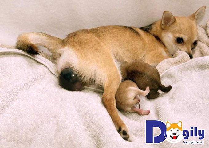 Chó mẹ có thể dễ xảy ra những biến chứng khi mang thai nếu không được chăm sóc cẩn thận