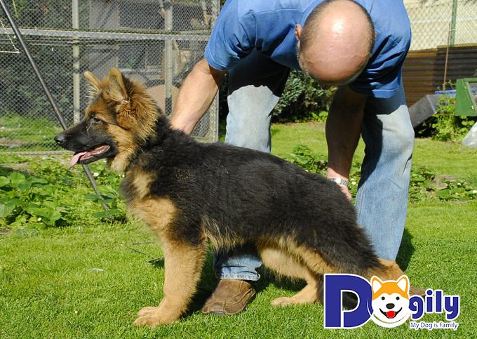 Chó ở Dogily là những chú chó thuần chủng