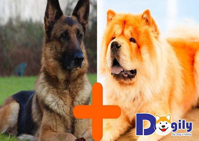 Chow Shepherd là giống chó lai giữa chow chow và Becgie Đức GSD