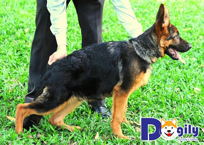 Chú chó Becgie lông đen - vàng