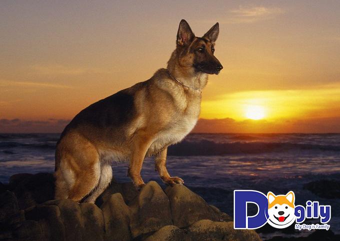 Chú chó Becgie thuần chủng
