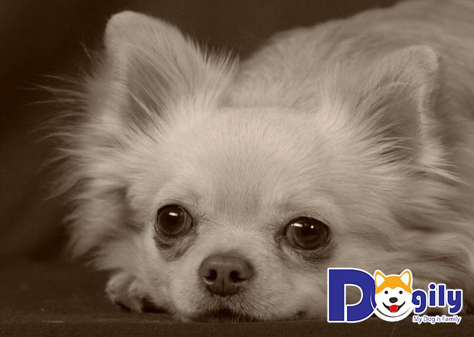 Chú chó Chihuahua lai có bộ lông dài