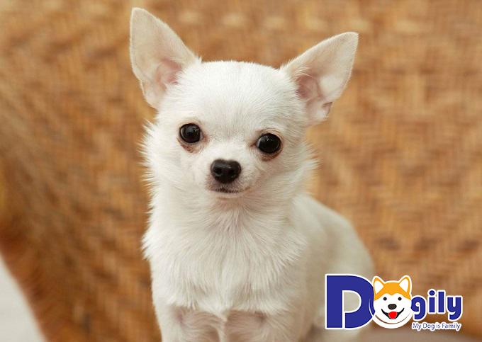 Chú chó Chihuahua thông minh