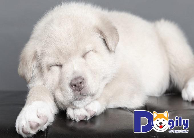 Có nên chọn mua những chú chó chow chow lai hay không?
