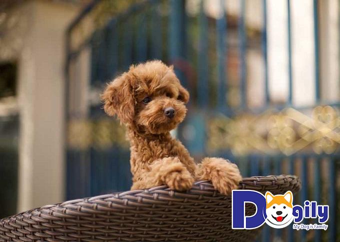 Đặc điểm nổi bật của chó Poodle