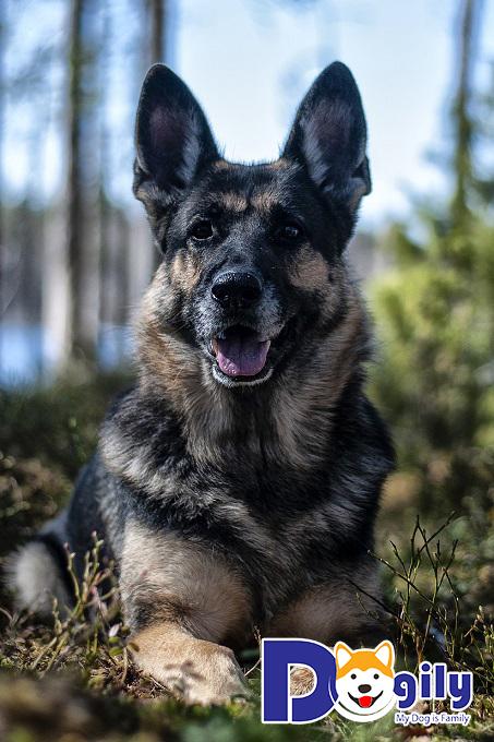 Dấu hiệu nhận biết chó Becgie thuần chủng