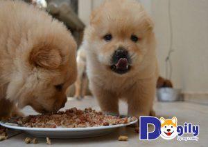 Dinh dưỡng cho các bé Chow Chow từ 3 đến 6 tháng tuổi