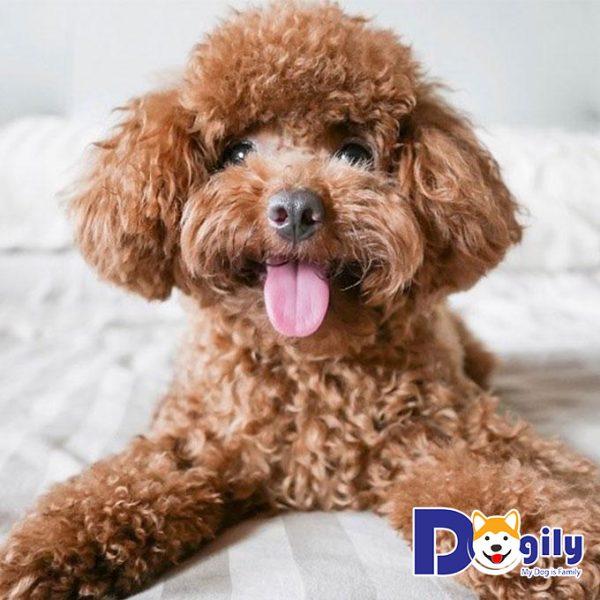 Độ tuổi và giới tính cũng ảnh hưởng tới giá của mỗi chú chó Poodle