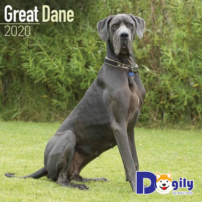 Dogily - Nơi mang đến những giống chó Great Dane chất lượng bậc nhất phát triển tại Việt Nam