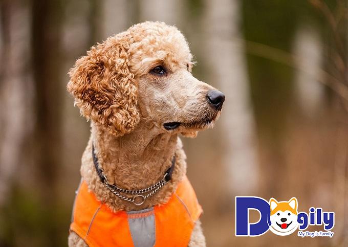 Dogily Petshop cung cấp các giống chó Poodle chất lượng tại Hà Nội, TPHCM