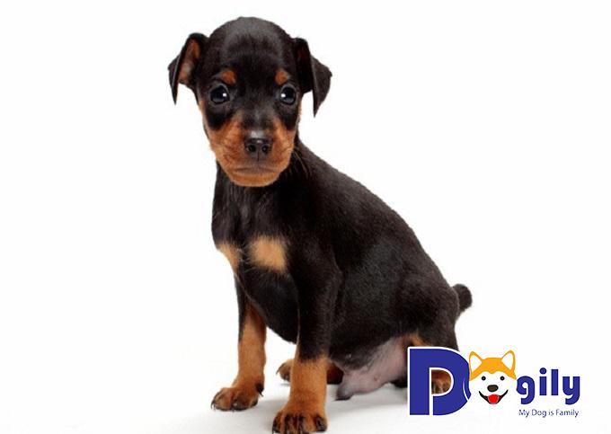 Đuôi của chó Phốc hươu đều được cắt cụt và tạo hình khi chúng đủ 2 - 3 ngày tuổi