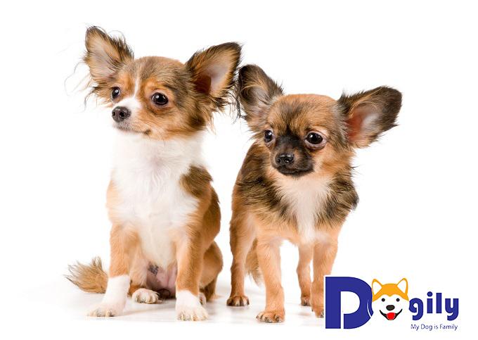Giá chó Chihuahua lông dài
