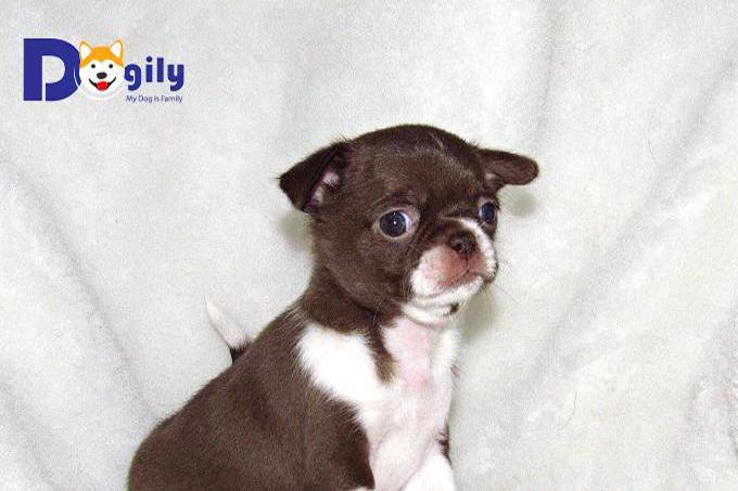 Giá chó Chihuahua tại hệ thống Dogily Pet Shop