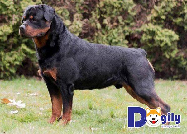 Giá chó Rottweiler cỡ đại trên thị trường là bao nhiêu?