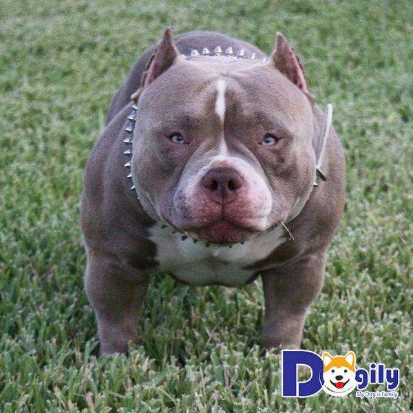 Giống chó Bully chỉ mới xuất hiện tại Mỹ từ năm 1995