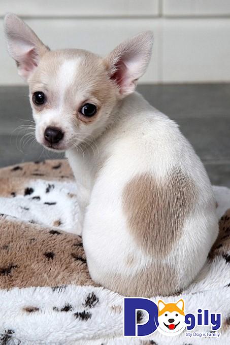 Giống chó Chihuahua có màu lông tương đối đa dạng
