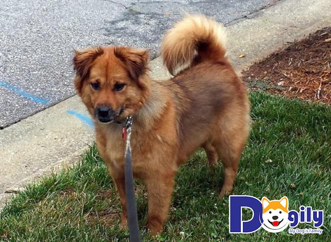 Giống chó Lab-chow với bộ lông dày, mềm mượt và cái bờm nổi bật ở vùng cổ