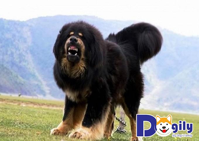 """Giống chó Ngao Tây Tạng – """"sư tử vùng thảo nguyên"""" vang danh lừng lẫy"""
