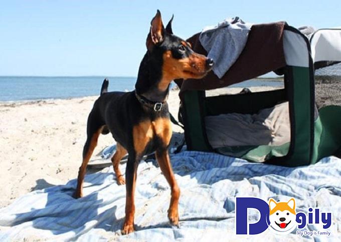 Giống chó Phốc hươu có nguồn gốc xuất xứ từ Đức và được du nhập vào nhiều quốc gia