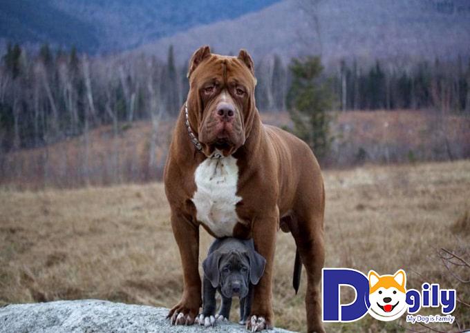 """Giống chó Pitbull – """"vua chó chọi"""" khiến nhiều người kinh sợ"""