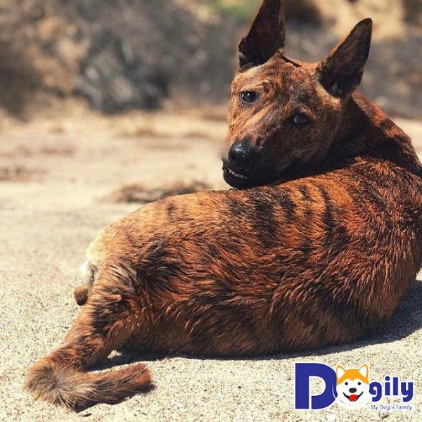 Hình ảnh chó Phú Quốc lông vện cọp