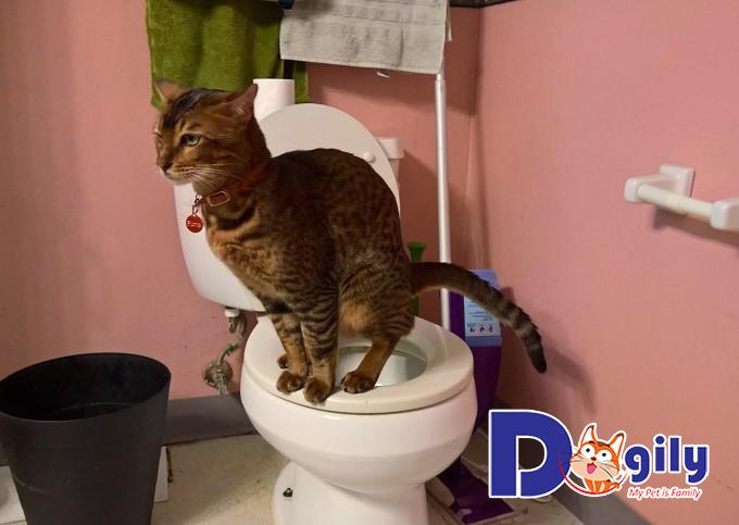 Huấn luyện cho mèo đi vệ sinh đúng chỗ cần thực sự kiên trì