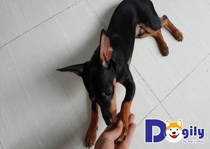 Khách hàng được hưởng nhiều ưu đãi hấp dẫn khi mua chó cưng tại Dogily.vn