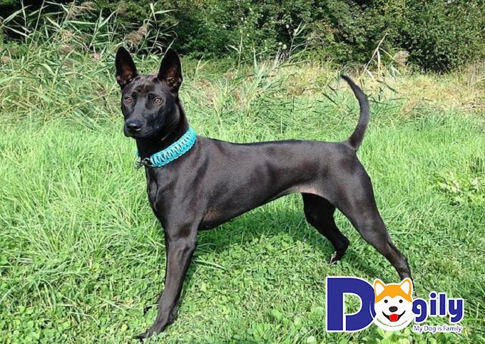 Khám phá tính cách và khí chất của giống chó Phú Quốc
