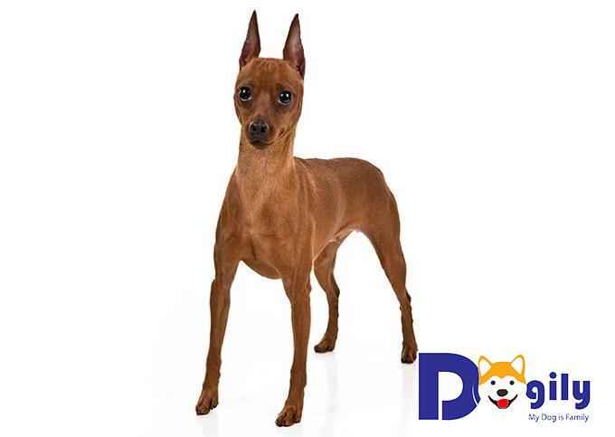 Mặc dù hơi giống chó Doberman nhưng chó Phốc hươu có nguồn gốc lâu đời hơn