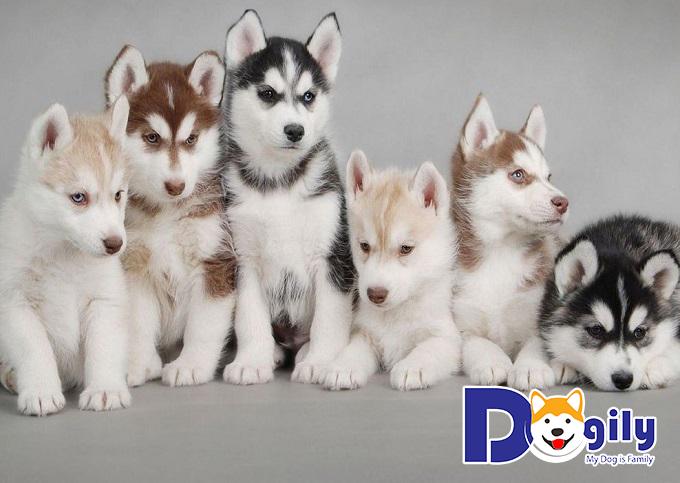 Màu lông chó Alaska vô cùng đa dạng