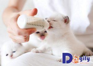 Mèo dưới 6 tuần tuổi còn non nớt nên cần được uống sữa đầy đủ