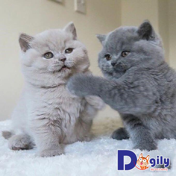 Mèo trưởng thành thường khó tính nên cần được yêu thương, quan tâm mỗi ngày