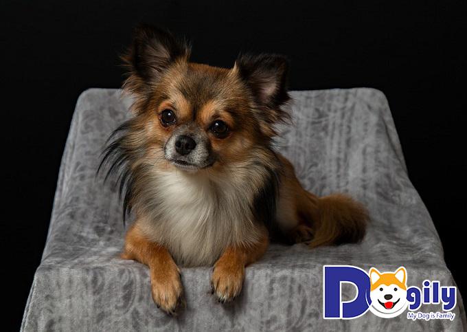 Mua chó Chihuahua tại DogilyMua chó Chihuahua tại Dogily
