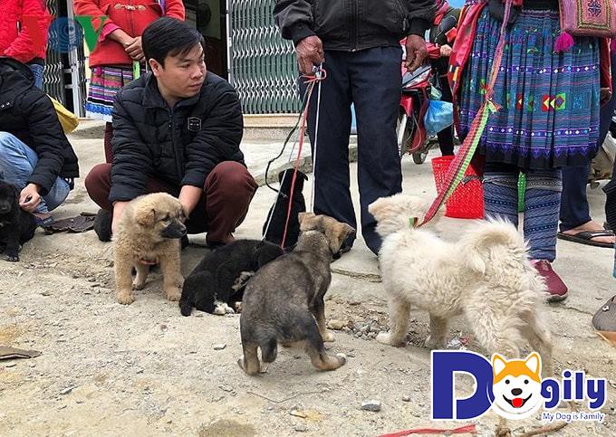 Mua chó Mông Cộc tại các trại có uy tín