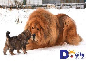Ngao Tây Tạng mẹ nằm chơi đùa cùng với con nhỏ trên nền tuyết trắng xóa