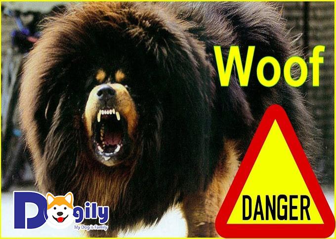 Ngao Tây Tạng sở hữu bộ lông dày cùng sự nhanh chạy, chính xác trong chiến đấu với kẻ thù